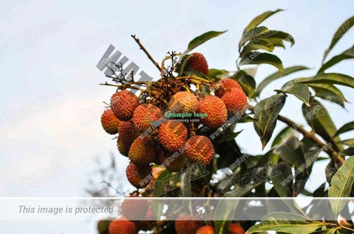 荔枝品种 1