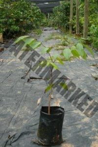 荔枝生长阶段 2
