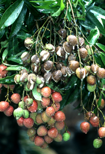 荔枝病虫害