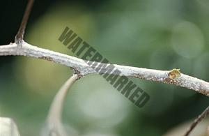 荔枝病虫害 1
