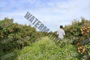 荔枝栽培管理